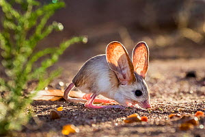 Long eared jerboa (Euchoreutes naso) digging a burrow with teeth, Gobi desert, Mongolia  -  Klein & Hubert
