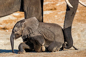 African elephant (Loxodonta africana) mother pushing up tired calf with trunk, Chobe National Park, Botswana.  -  Klein & Hubert