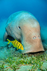 RF - Portrait of a male Dugong (Dugong dugon) feeding on a seagrass meadow (Halophila stipulacea), accompanied by a young golden trevally (Gnathanodon speciosus). Red Sea. (This image may be licensed... - Alex Mustard