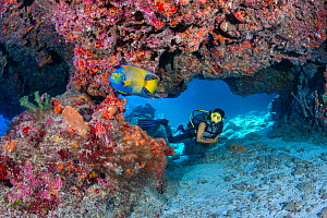 RF - Diver encounters a Queen angelfish (Holacanthus ciliaris) beneath a colourful overhang on a coral reef. Cayman Islands. Model released. (This image may be licensed either as rights managed or roy...  -  Alex Mustard
