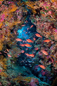 Shoal of a Red Sea soldierfish (Myripristis murdjan) shelter in a coral filled cave. Ras Mohammed National Park, Sinai, Egypt. Red Sea.  -  Alex Mustard