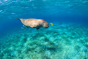 Dugong (Dugong dugon) male swimming over Seagrass meadow (Halophila stipulacea) accompanied by a young Golden trevallies (Gnathanodon speciosus). Marsa Mubarak, Marsa Alam, Egypt. Red Sea - Alex Mustard