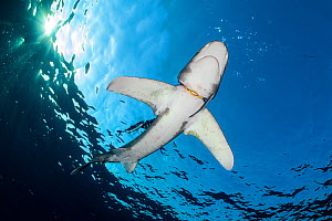 Oceanic whitetip shark (Carcharhinus longimanus) with a yellow rubber hoop stuck around its neck (a diver's regulator holder), accompanied by Pilotfish (Naucrates ductor). This shark was photographed...  -  Alex Mustard