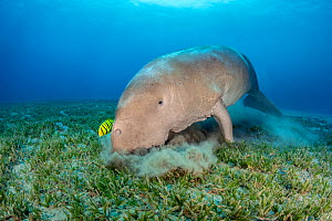 Dugong (Dugong dugon) male feeding on a seagrass meadow (Halophila stipulacea), accompanied by a young Golden trevally (Gnathanodon speciosus). Marsa Nabaa, Marsa Alam, Egypt. Red Sea - Alex Mustard