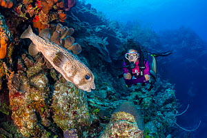 Diver encountering a Porcupinefish (Diodon hystrix) on a coral reef wall, with Brown tube sponges (Agelas conifera). McCurley's Wall. East End, Grand Cayman, Cayman Islands, British West Indies. C... - Alex Mustard