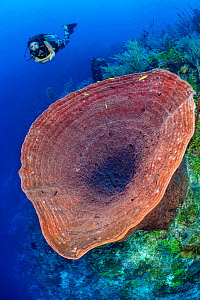Diver with a huge Giant barrel sponge (Xestospongia muta) growing on the wall of a coral reef. Dive site: Dumbo's Drop Off. East End, Grand Cayman, Cayman Islands, British West Indies. Caribbean S...  -  Alex Mustard