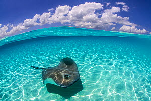 Split level image of a Southern stingray (Dasyatis americana) swimming over a sand bar. Grand Cayman, Cayman Islands. British West Indies. Caribbean Sea.  -  Alex Mustard