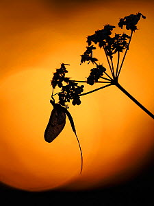 RF - Mayfly (Ephemera danica) roosting on Hogweed at Sunset, Hertfordshire, England, UK, May (This image may be licensed either as rights managed or royalty free.)  -  Andy Sands