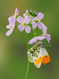 RF - Orange Tip Butterfly (Anthocaris cardamines) on Cuckoo flower / Lady's smock (Cardamine pratensis), Hertfordshire, England, UK, April - Focus Stacked (This image may be licensed either as rig... - Andy Sands