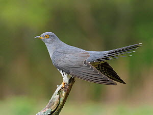 RF - Cuckoo (Cuculus canorus) male perched on dead branch, Surrey, England, UK, May (This image may be licensed either as rights managed or royalty free.)  -  Andy Sands