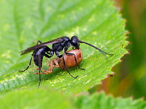 Spider hunting wasp (Anoplius nigerrimus) carrying paralysed Spider back to nest, Oxfordshire, England, UK, August  -  Andy Sands