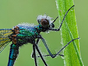 Banded demoiselle (Calopteryx splendens) close up of head with early morning dew, Hertfordshire, England, UK, June - Focus Stacked Image - Andy Sands