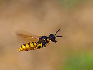 Bee killer wasp / Beewolf (Philanthus triangulum) In flight patrolling territory, Oxfordshire, England, UK, August  -  Andy Sands