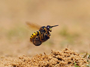 Bee killer wasp / Beewolf (Philanthus triangulum) female in flight with paralysed Honeybee, Oxfordshire, England, UK, August  -  Andy Sands