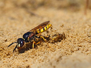 Bee Killer Wasp / Beewolf (Philanthus triangulum) digging burrow in old sandpit, Oxfordshire, England, UK, August  -  Andy Sands