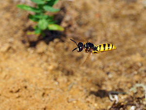 Bee killer wasp / Beewolf (Philanthus triangulum) male patrolling territory, Oxfordshire, England, UK, August  -  Andy Sands