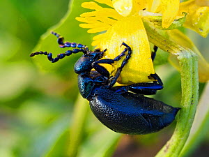 Black oil beetle (Meloe proscarabaeus) feeding on flower of Lesser celandine (Ficaria verna), Gower, Wales, UK, February  -  Andy Sands