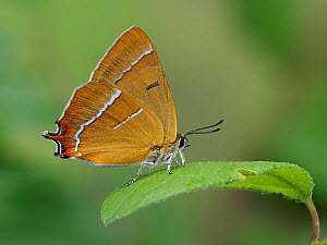 Brown hairstreak butterfly (Thecla betulae) male at rest with wings closed on Blackthorn leaf, Hertfordshire, England, UK, June. Focus stacked image. Captive - Andy Sands