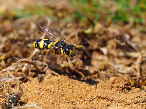 Digger wasp (Cerceris rybyensis) in flight over sandy habitat, Oxfordshire, England, UK, August - Andy Sands