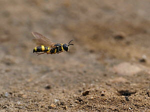 Digger wasp (Cerceris rybyensis) in flight over burrow patrolling territory, London, England, UK, August - Andy Sands