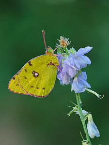Clouded yellow butterfly (Colias crocea) covered in dew early morning, Hertfordshire, England, UK, September - Focus Stacked Image - Andy Sands