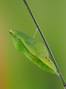 Clouded yellow butterfly (Colias crocea) pupa on plant stem, Hertfordshire, England, UK, September - Focus Stacked Image - Captive  -  Andy Sands