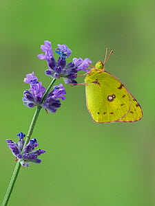 Clouded yellow butterfly (Colias crocea) on lavender, Hertfordshire, England, UK, September - Focus Stacked Image - Captive - Andy Sands