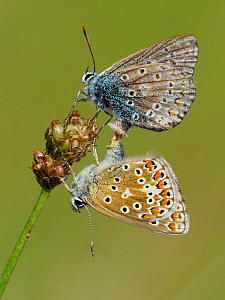 Common blue butterflies (Polyommatus icarus) mating pair, Oxfordshire, England, UK, August  -  Andy Sands