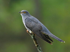 Cuckoo (Cuculus canorus) male perched on dead branch, Surrey, England, Uk, May  -  Andy Sands