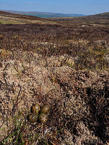 Curlew (Numenius arquata) nest with four eggs on recently burnt heather strip - this is the usual nest site on a working Grouse Moor, a recent decision to ban strip burning on deep peat will have an a... - Andy Sands