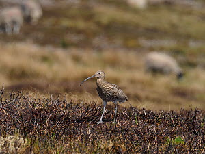Curlew (Numenius arquata) walking back to nest on recently burnt heather strip. This is the usual nest site on a working Grouse Moor, a recent decision to ban strip burning on deep peat will have an a...  -  Andy Sands