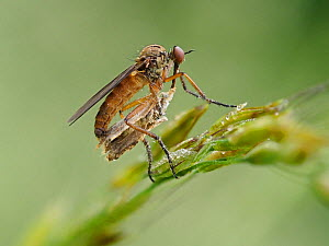Dance Fly (Empis opaca) Feeding on Micro Moth, Hertfordshire, England, UK, April  -  Andy Sands