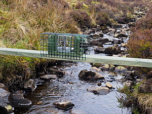New legal type Doc Trap set across stream on Grouse Moor targeted to trap Stoat for the protection of ground nesting birds, Upper Teesdale, Co Durham, England, UK, March - Andy Sands