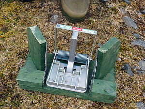 New legal type Doc Trap used to target Stoat on Grouse Moors, Upper Teesdale, Co Durham, England, UK, March - Andy Sands