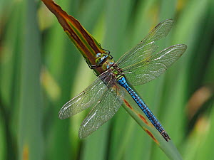 Emperor dragonfly (Anax imperator) perched on reeds with damage to wing from Bird attack, Hertforshire, England, UK, August  -  Andy Sands