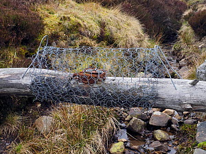 Rail trap set across drain on Grouse Moor to trap predators of ground nesting birds, Upper Teesdale, Co Durham, England, UK, March - Andy Sands