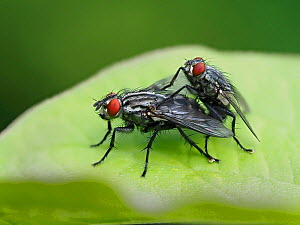 Flesh fly (Sarcophaga sp) mating pair on leaf, Hertfordshire, England, UK, May - Focus Stacked  -  Andy Sands