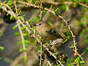 Goldcrest (Regulus regulus) male perched in Larch tree, Hertfordshire, England, UK, March - Andy Sands