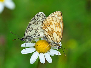 Marbled white butterfly (Melanargia galathea) Mating pair on Oxeye Daisy, Hertfordshire, England, UK - Focus Stacked  -  Andy Sands