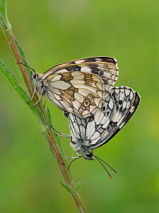 Marbled white butterfly (Melanargia galathea) mating pair, Hertfordshire, England, UK - Focus Stacked  -  Andy Sands