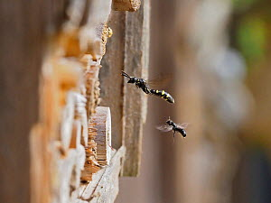Parasitic wasp (Monosapyga clavicornis) hovering in front of garden bee hotel looking for hosts nests while being watched by the Bee (Chelostoma campanularum) Hertfordshire, England, UK, June  -  Andy Sands