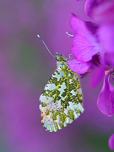 Orange tip butterfly (Anthocaris cardamines) roosting on Honesty flower, Hertfordshire, England, UK, April. Focus Stacked  -  Andy Sands