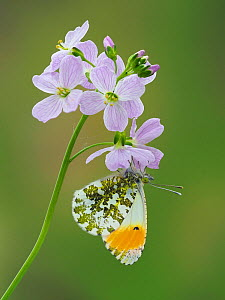 Orange tip butterfly (Anthocaris cardamines) on Cuckoo flower / Lady's smock (Cardamine pratensis), Hertfordshire, England, UK, April - Focus Stacked  -  Andy Sands