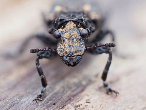Cramp-ball fungus weevil / Scarce fungus weevil (Platyrhinus resinosus) close up of head of weevil that is associated with Cramp Ball fungus (Daldinia concentrica), Hertfordshire, England, UK, April -... - Andy Sands