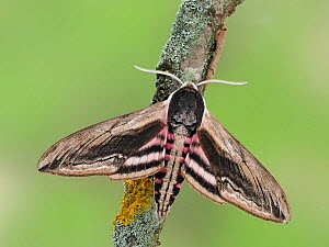 Privet hawkmoth (Sphinx ligustri) resting with wings open, Hertfordshire, England, UK, June - Focus Stacked  -  Andy Sands