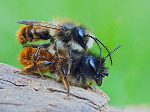 Red mason bee (Osmia bicornis) courting pair prior to mating, Hertfordshire, England, UK. April - Focus Stacked  -  Andy Sands