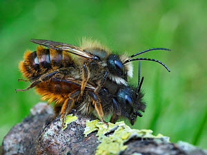 Red mason bee (Osmia bicornis) mating pair, Hertfordshire, England, UK. April  -  Andy Sands
