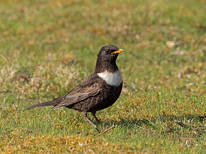 Ring ouzel (Turdus torquatus) male on short turf, Upper Teesdale, Co Durham, England, UK. June  -  Andy Sands