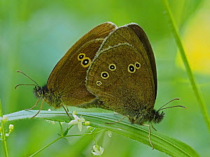 Ringlet butterfly (Aphantopus hyperantus) mating pair, Hertfordshire, England, UK, July - Focus Stacked  -  Andy Sands