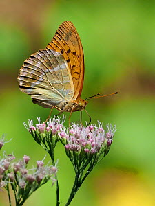 Silver washed fritillary (Argynnis paphia) feeding on nectar from flowers in woodland clearing, Bulgaria, August - Andy Sands